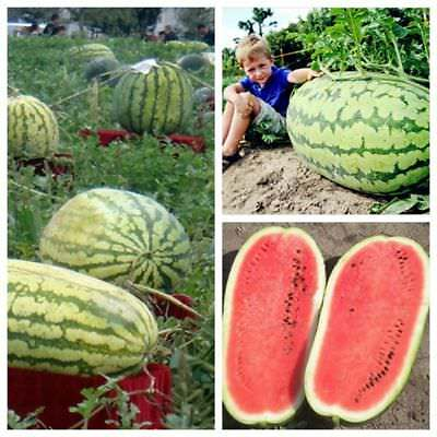 1 Pack 50 Giant Watermelon Seeds Delicious Sweet Home Decoration Fruit Seed S064