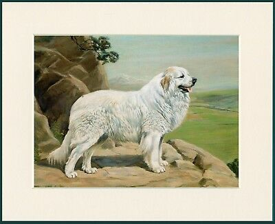 Pyrenean Mountain Dog On Rocky Outcrop Lovely Print Mounted Ready To Frame