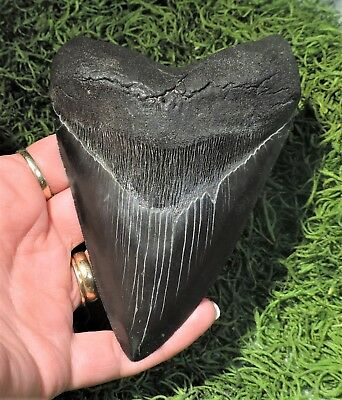 Nicely Serrated 5 3/16'' Megalodon Sharks Tooth / Fossil Sharks Teeth Tooth
