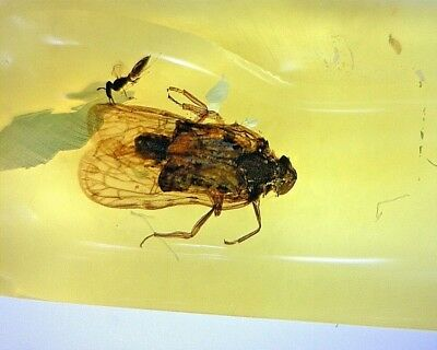 Miocene Mexican Chiapas Fossil Amber W Rare Bug & Parastitic Wasp SI5 0.62g