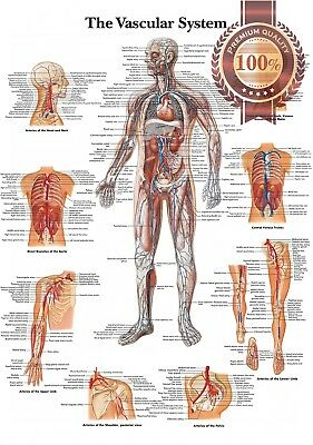 New The Vascular System Anatomical Diagram Chart Anatomy Print Premium Poster