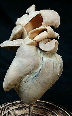 Antique Half Heart Teaching  Display,medicine,scientific,prop,obscure,odd,real