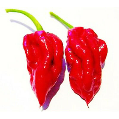 1 Pack 50 Red Ecuadorian DEVIL'S Breath Pepper Seeds Hot TONGUE Chilli S038