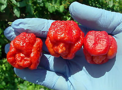 1 Pack 50 Trinidad Scorpion Pepper BUTCH Worlds Hottest Chilli S039