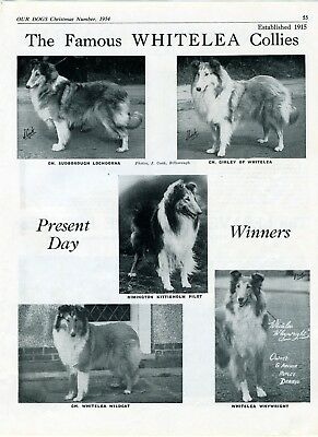 Collie Dog Breed Kennel Advert Print Page Whitelea Kennel Our Dogs 1954