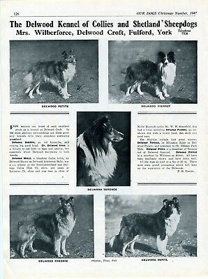 Collie Dog Breed Kennel Advert Print Page Delwood Kennel Our Dogs 1947
