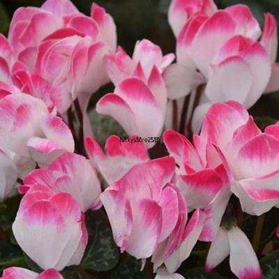New Nice Adorable Flower Fragrant Seeds Fragrant Blooms Cyclamen Seeds BRCE
