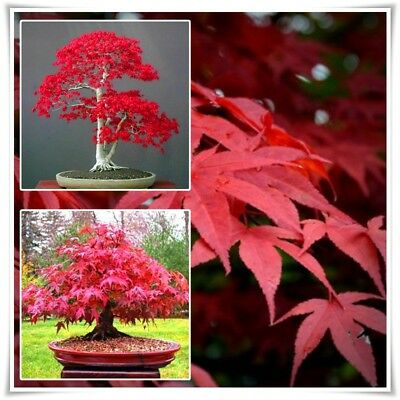 Bonsai Japanese Red Maple 20PCS Tree Seeds Acer Palmatum Red Maple Seeds Rare