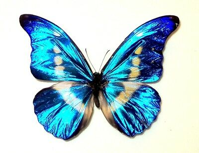 Morpho  helena....male....Peru....Good sample!