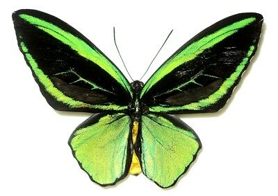 Ornithoptera priamus poseidon male TWO FORM cronius + radians...Waigeo is. Rare!