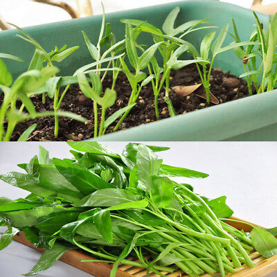 400Pcs Water KANG Plant Leaf Green SPINACH Seeds Vegetable Convolvulus Seeds #