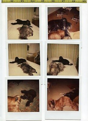 (17) Vintage POLAROID photo lot / AFGHAN Hounds - Living the Good Life at Home