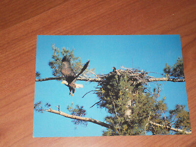 Carte postale - Bald eagle (aigle)
