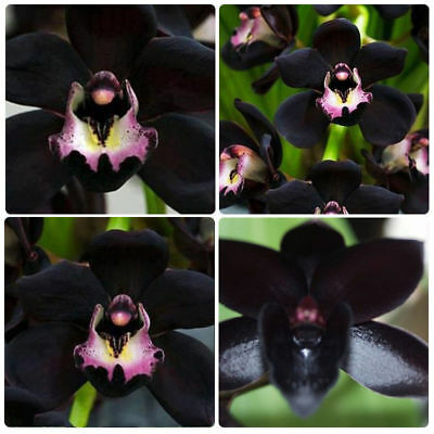 100x Rare Black Cymbidium Faberi Orchid Flower Seeds Garden Home Plant Decor