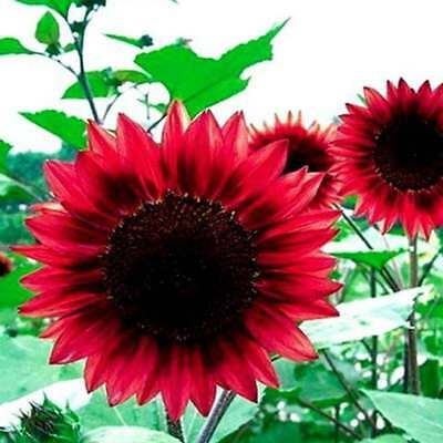 40Pcs-Red-Large-Sunflower-Seeds-Red-Great-Fortune-Flowers-Seeds-Garden-New 40P