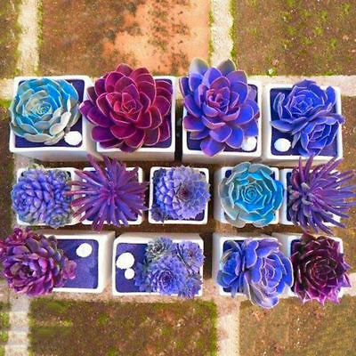 Succulent-Seeds-Soft-Seeds-Mix-Color-Flowering-Succulents-Cactus-Combsh-100Pc