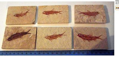 KNIGHTIA ALTA FOSSIL (one) FISH WYOMING USA VISIBLE SCALES EOCENE AGE GIFT