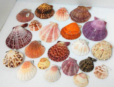 Big Lot of Mixed SCALLOPS SeaShells -Estate Vintage Sea Shell Lions Paw Colorful