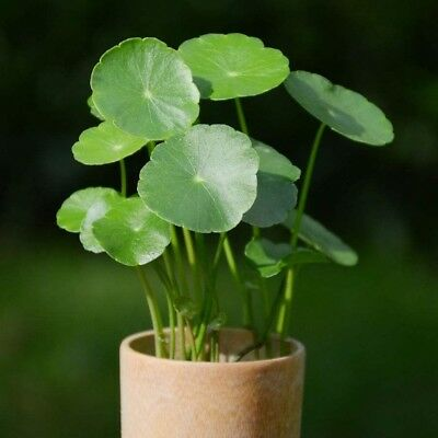 50PCS Pilea Peperomioides Chinese Money Plant Seeds Pancake Shape Plants Decor