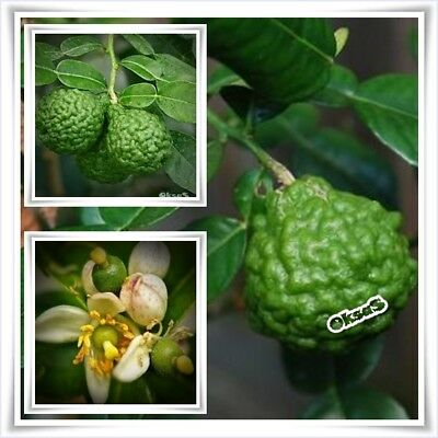 Fruit Seeds Lime Seeds Thai Kaffir 30PCS Organic Fresh Spice leave Bonsai Rare