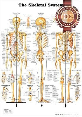 New The Skeletal System 3 Views Anatomical Diagram Anatomy Chart Premium Poster