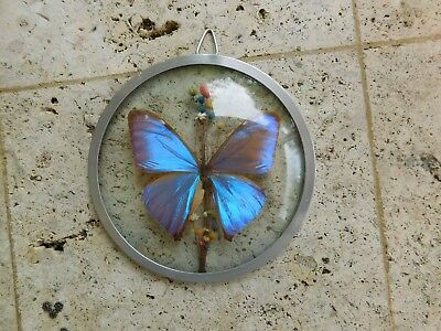 Framed Real Butterfly In Double Glass Round Frame taxidermy