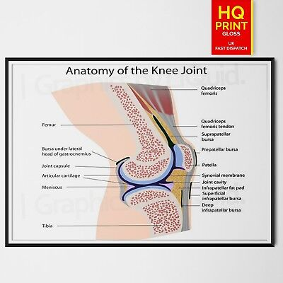 Human Anatomy Knee Joint Poster Print Educational School Science A4 A3 A2 A1