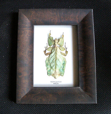 Phyllium giganteum! Framed Walking Leaf Insect! Real Insect!