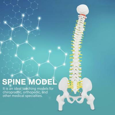 18'' Spine Model With Pelvis Femur Heads 1/2 Life Lab Equipment Detailed New