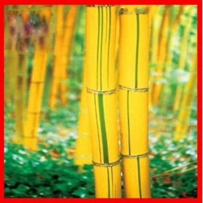 10x Seeds Portor Gold Bamboo Plant