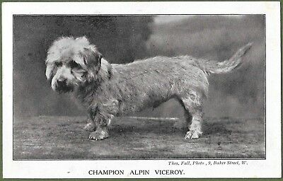 Champion Dog Alpin Viceroy. Wire Haired Dachshund - Alpine Dachsbracke c1905.