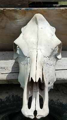 REAL COW SKULL TAXIDERMY NATURALLY BLEACHED, Teeth CRAFT LANDSCAPING paint