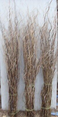 Curly Willow Twigs