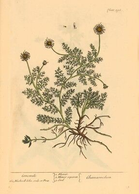 Chamomile ELIZABETH BLACKWELL A Curious Herbal. Vintage Botanical Poster