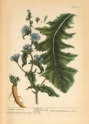 Chicory ELIZABETH BLACKWELL A Curious Herbal. Vintage Botanical Poster