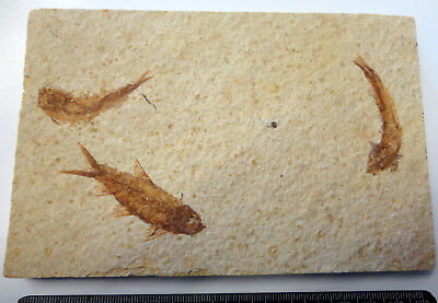 KNIGHTIA ALTA FOSSIL FISH VISIBLE SCALES EOCENE AGE  WYOMING USA GIFT fj134