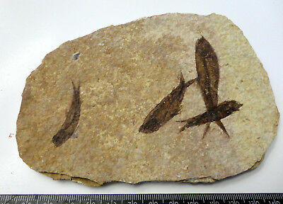 KNIGHTIA ALTA FOSSIL FISH VISIBLE SCALES EOCENE AGE  WYOMING USA GIFT fj136