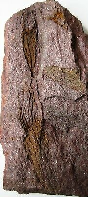 Fossil Echinoderm Ascocystites drabowiensis