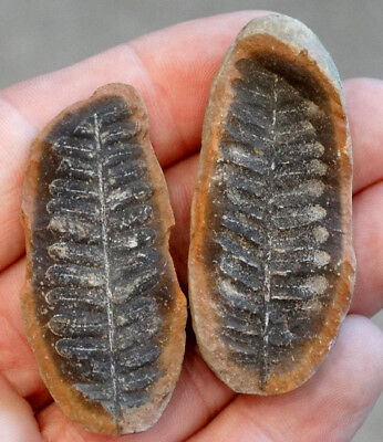 Estate Fresh DETAILED Fossilized MAZON CREEK FERN LEAF Split Rock FOSSIL