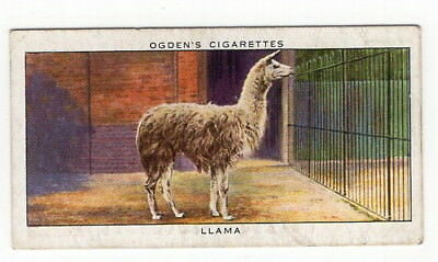 Vintage 1937 Wildlife Painting Card of a LLAMA