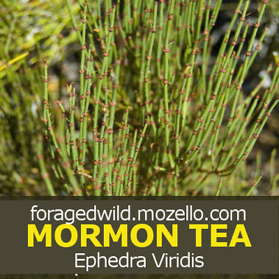 SUBALPINE MORMON TEA | Wild Crafted & Dried Brigham Tea | Ephedra Viridis  1/4 LB