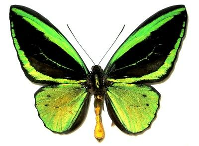 Ornithoptera priamus poseidon male....FORM RADIANS....Indonesia....Very Rare!!!!