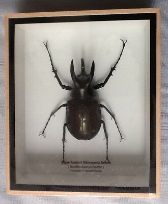 3 Horned Rhinocerus Beetle horn taxidermy insect entomology interior design