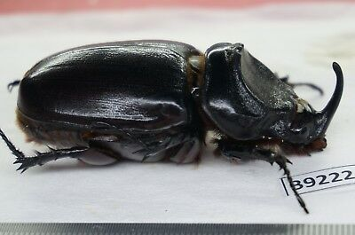 B9222- Scarabaeidae Dung Beetle Real Insect North Vietnam