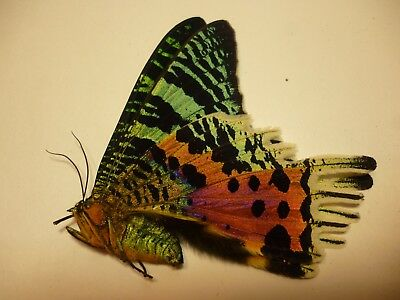 Real Butterflies/Moths/Insects non set.Lge Urania ripheus Sunset Moth 8 -9 cm
