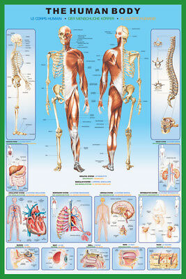 The Human Body Anatomy Skeleton And Major Organ Systems 91.5X61Cm Maxi Poster