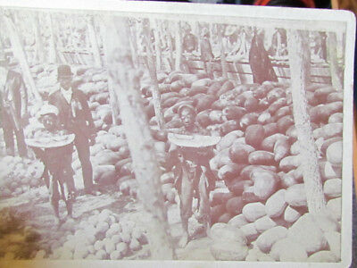 1890's African American boys eating watermellon in Rocky Ford Colorado photo