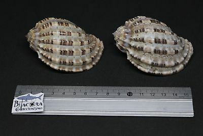 HARPA Lot 2 units malacology Seashells conch shells reduced price