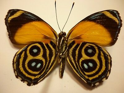Real Dried Insect/Butterfly/Moth Non set Colourful Callicore eunomia Peru B3829