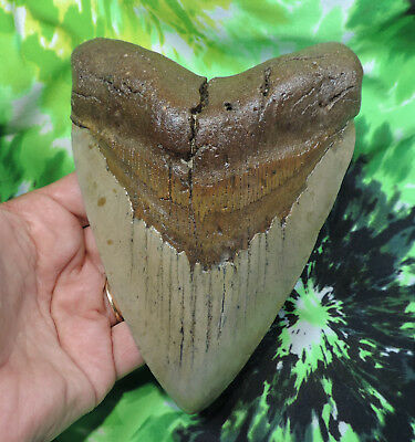 Beautiful 5 15/16'' Megalodon Sharks Tooth Fossil Sharks Teeth